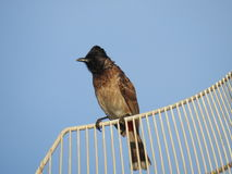 Bulbul Royalty Free Stock Images