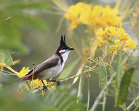 Bulbul Spring Song Royalty Free Stock Photography