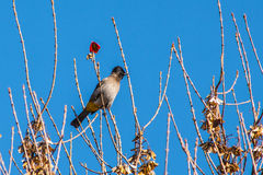 Bulbul in tree Stock Photos