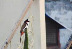Bulbul-Vogel, der auf einem Stamm sitzt Stockbild