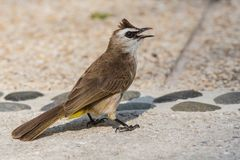 Bulbul walks along the paths of the hotel in Thailand Royalty Free Stock Photography