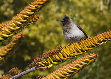 Bulbul on wet aloe Royalty Free Stock Images