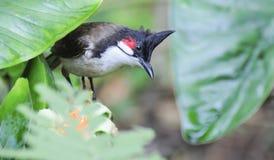 Bulbul whiskered красным цветом - jocosus Pycnonotus Стоковая Фотография