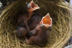 Bulbul y x28 expresados rojo recién nacido; Cafer& x29 de Pycnonotus; foto de archivo