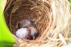 Bulbulfågelunge och ägg i rede royaltyfri foto
