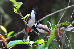 Bulbuls barbus rouges 1 Photos stock