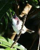 Bulbulvogel gehockt auf Baumast Stockfotografie