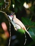 Bulbulvogel op boomtak die wordt neergestreken Stock Afbeeldingen