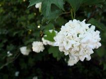 Buldenezh Krzak - biały spheric kwiat z kontrastów ciemnymi liśćmi, atmosferyczna zbliżenie fotografia obraz royalty free