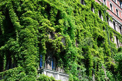 Bulding covered with ivy Royalty Free Stock Photo