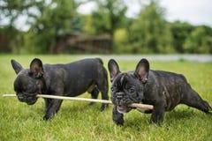 Buldogów szczeniaki bawić się z kijem na zieleni Fotografia Royalty Free