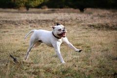 Buldog americano que corre na grama Fotografia de Stock