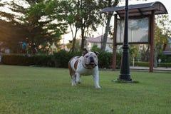 Buldog chodzi na trawie Fotografia Stock