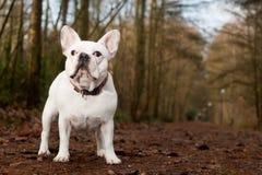 Buldog de Franse se tenant dans la forêt Photographie stock