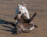 Buldog en Amerikaans staffordshire terriërspel op strand stock fotografie