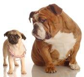 Buldog en pug puppy royalty-vrije stock afbeelding