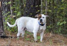 Buldog gemengde rassenhond royalty-vrije stock foto's