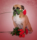 Buldog in liefdeportret Royalty-vrije Stock Foto's