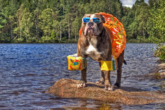 Buldog in meer met floaties in HDR stock foto