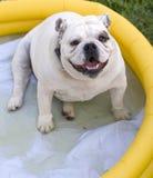 Buldog in Pool Royalty-vrije Stock Afbeelding