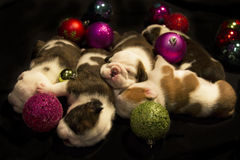 Buldog puppies for Christmas Stock Photos