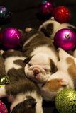 Buldog puppies for Christmas Royalty Free Stock Photo