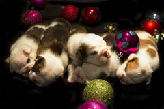 Buldog puppies for Christmas Royalty Free Stock Photos