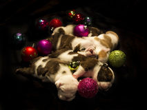 Buldog puppies for Christmas Stock Image