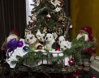 Buldog puppies in Christmas sleigh Royalty Free Stock Photography