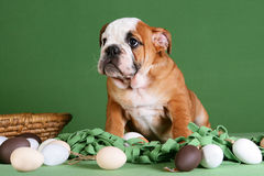 Buldog puppy playing with Easter decoration Royalty Free Stock Photography