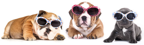 buldog puppy in sunglasses Royalty Free Stock Photo