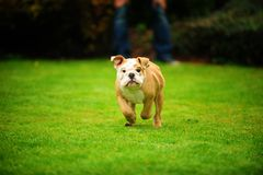 Buldog running Royalty Free Stock Image