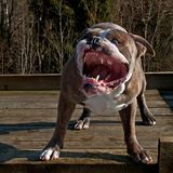 Buldog szczeka swój dużych zęby i pokazuje usta i Obrazy Royalty Free