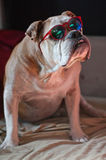 Buldog z czerwonymi szkłami Zdjęcie Royalty Free