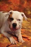 buldoga amerykański portret Zdjęcie Stock