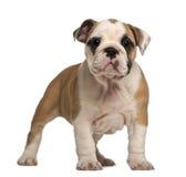 buldoga angielska szczeniaka pozycja Zdjęcia Royalty Free