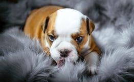 Buldoga angielski szczeniak Zdjęcie Stock