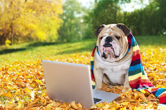 Buldogue com um portátil no outono fotografia de stock