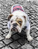 Buldogue de Britsh Foto de Stock Royalty Free