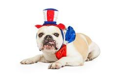 Buldogue do Dia da Independência com a língua que pendura para fora Imagens de Stock Royalty Free