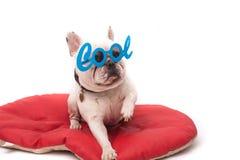 Buldogue francês adorável com óculos de sol foto de stock
