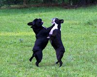 Buldogue francês & Boston Terrier Fotografia de Stock