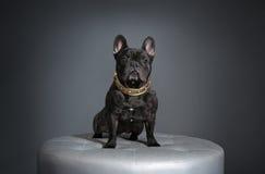 Buldogue francês com colar dourado Imagem de Stock Royalty Free