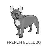 Buldogue francês de Brown Lingüeta que pendura para fora Fotografia de Stock Royalty Free