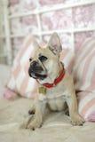 Buldogue francês do cachorrinho de Loveley que coloca em um sofá Fotografia de Stock Royalty Free