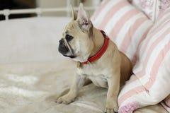 Buldogue francês do cachorrinho de Loveley que coloca em um sofá Foto de Stock