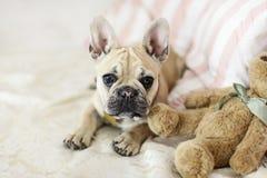 Buldogue francês do cachorrinho de Loveley que coloca em um sofá Foto de Stock Royalty Free