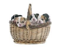 Buldogue francês dos cachorrinhos Imagens de Stock Royalty Free