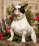 Buldogue francês muscular que olha acima Foto de Stock Royalty Free