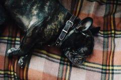 Buldogue francês que dorme no sofá em uma cobertura da manta ao lado de seu proprietário, fim acima fotos de stock royalty free